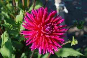 HD Pink Anemone Flower