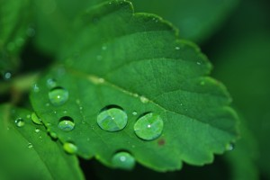 Rain on Green Leaf
