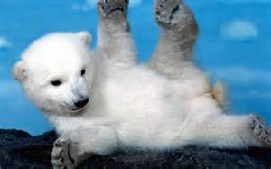 HD Cute Polar Bear