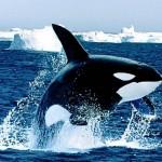 Orca Whale Mammal