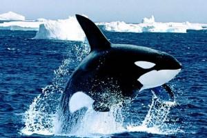 HD Orca Whale II