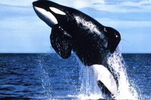HD Orca Whale