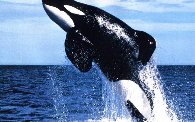 Orca Whale Breeching