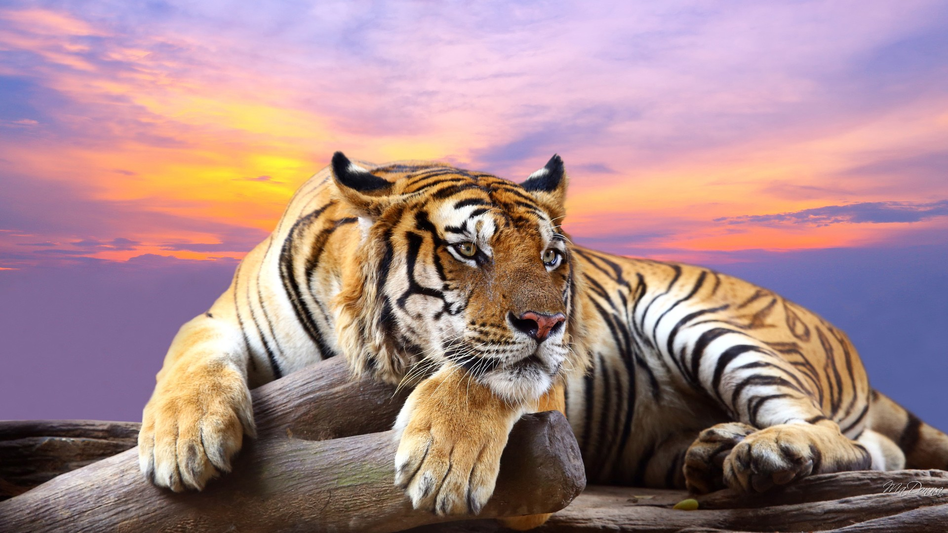 HD Tiger Wallpaper - HD Wallpaper Download