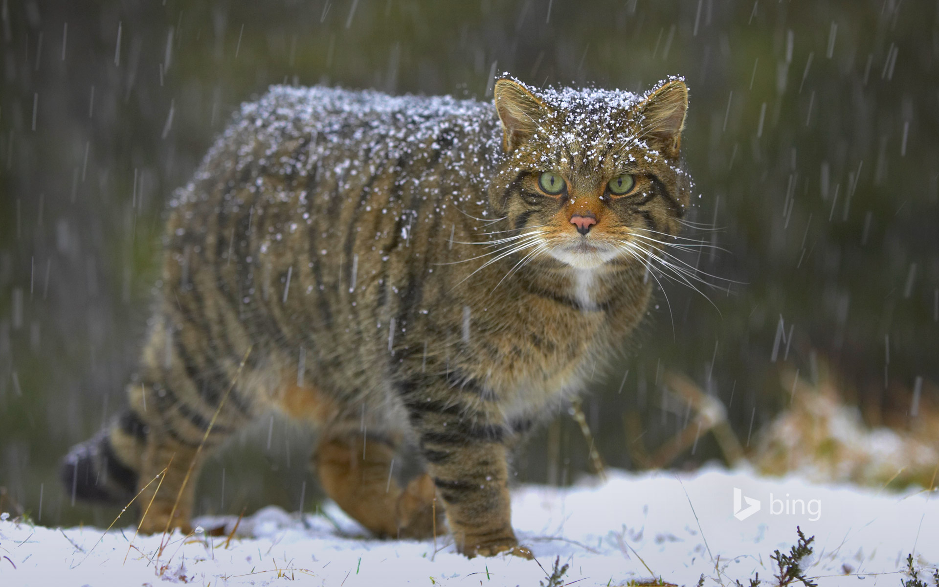 Scottish Wild Cats Pictures