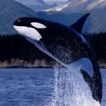 HD Killer Whale Breeching
