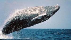 HD Grey Whale