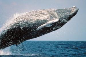 HD Grey Whale Breeching Image