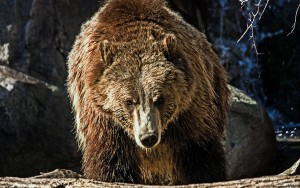HD Grizzly Bear