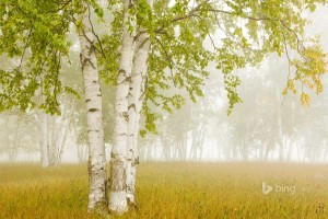 Birch Trees in the Fog Thunder Bay