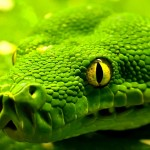 Green HD Wallpaper Snake