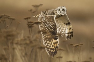 HD Flying Owl