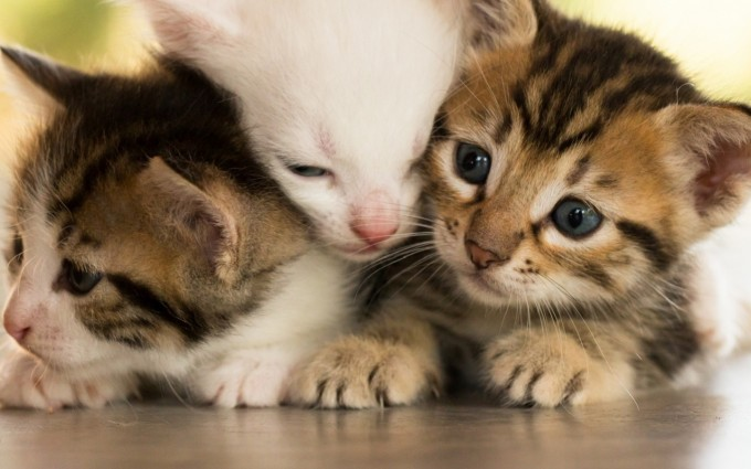 HDWallpaper Playful Kittens