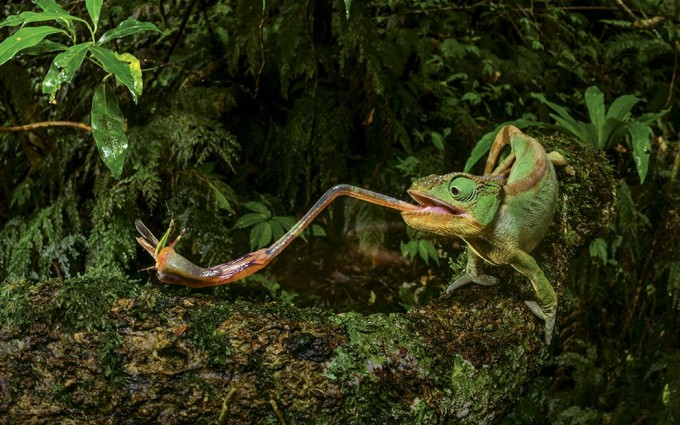 Chameleon preying on an insect