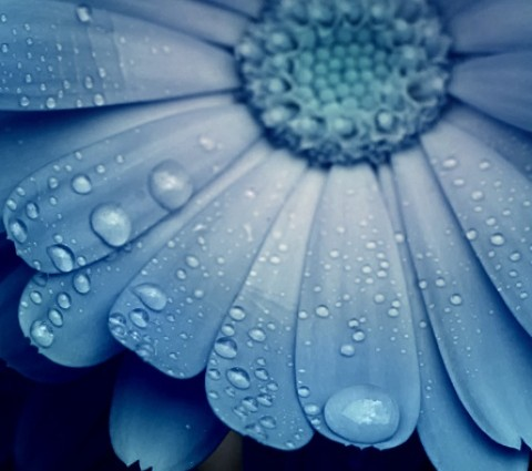 Smartphone Wallpaper Morning Rain on a Daisy