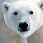 Polar Bear Wallpaper Close Up