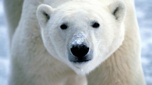HD Polar Bear Wallpaper