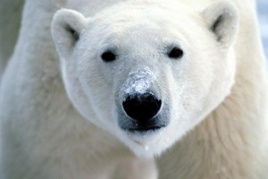 Polar Bear Wallpaper Close Up