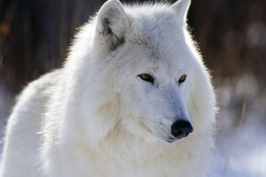 HD White Arctic Wolf