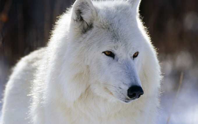 HD Arctic White Wolf