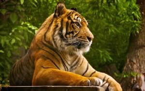 HD Tiger Resting