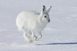 Arctic Rabbit Running Wallpaper