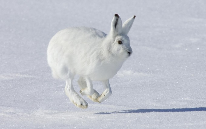 Arctic Rabbit Running Wallpaper