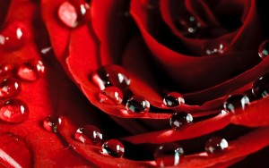 HD Rose with Water Drops