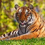 Tiger in the Grass Resting