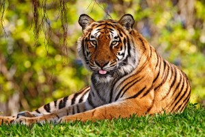 HD Tiger in the Grass