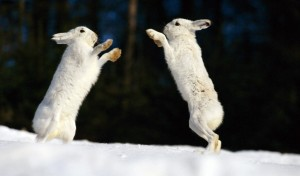 HD Arctic Rabbit Clash
