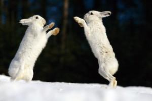 HD Arctic Rabbit Clash