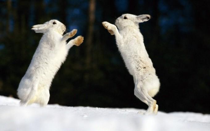 Arctic Rabbit Fighting