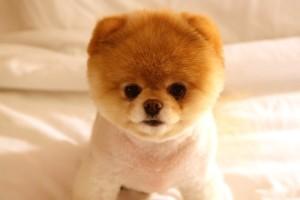 HD Cute Puppy Dog Boo