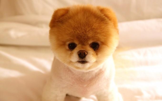 cute_dog_boo-wide