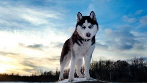 HD Huskie Dog of the North