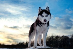 Working the North - Husky Dog of the Northof