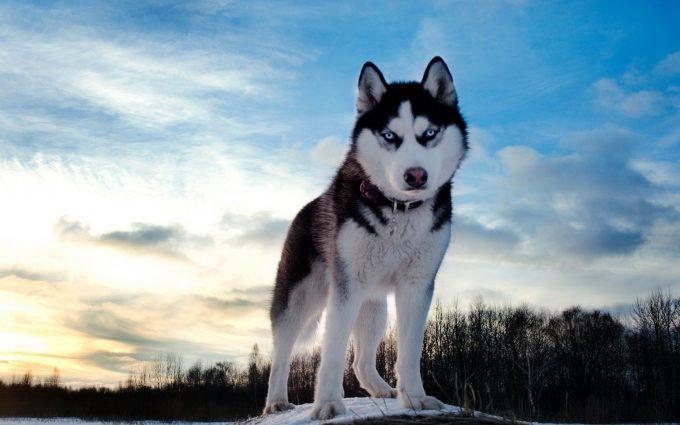 Working the North - Husky Dog of the Northof